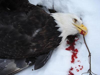 Name:  dead-eagle02.JPG Views: 157 Size:  28.6 KB