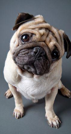 Name:  f17ca4ed36b483b181b498fb49edffc7--cute-pugs-pug-dogs.jpg Views: 618 Size:  20.0 KB