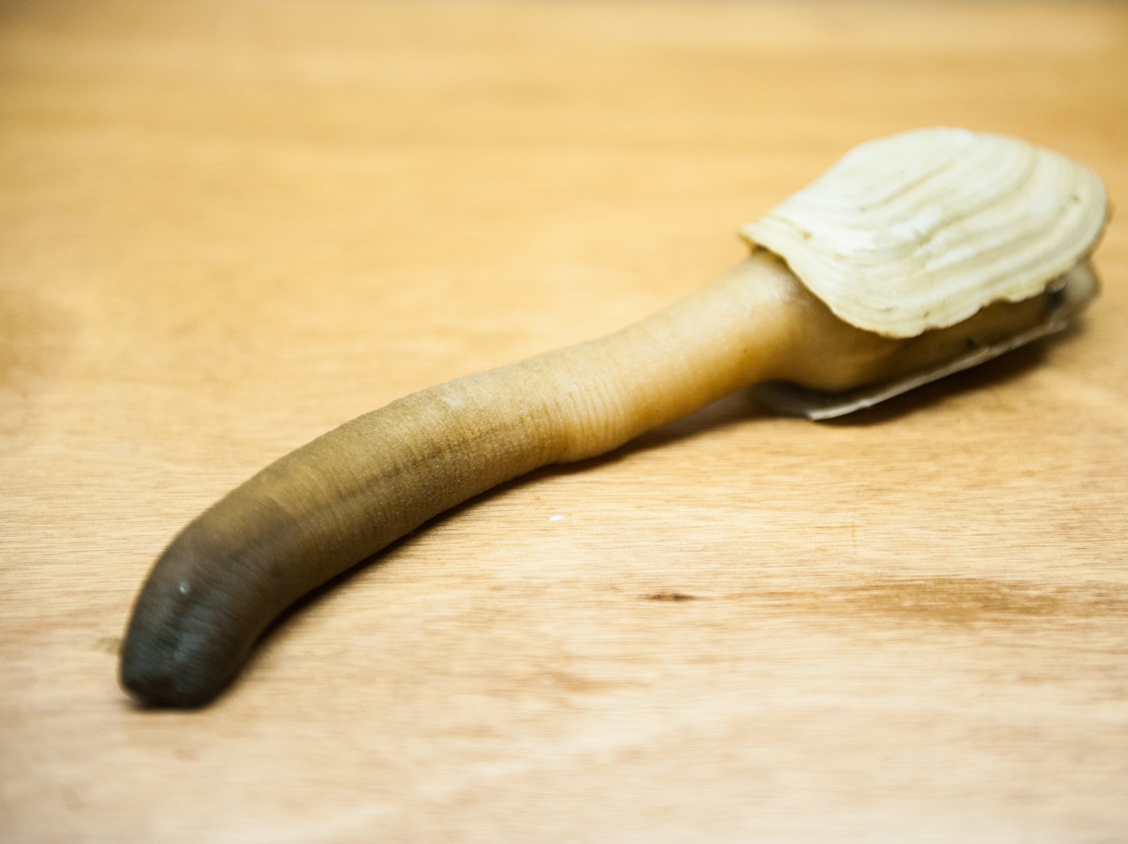 Name:  geoduck.jpg